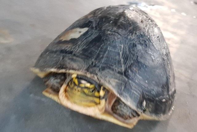Khi có tiếng động, rùa thụt đầu, chân vào trong mai tạo thành một hộp kín. Đây là loại rùa nằm trong danh sách cần được bảo vệ.
