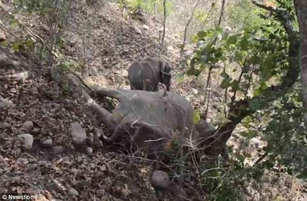 Chú voi con tìm mọi cách để đánh thức mẹ của mình và quyết tâm bám trụ bên thi thể của mẹ