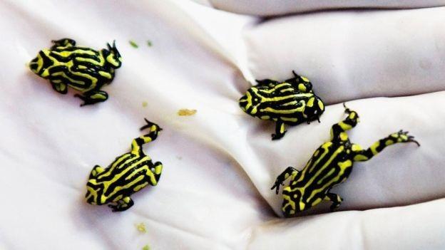 Nấm chytrid có ảnh hưởng nặng nề tới loài ếch Corroboree cực kì nguy cấp, loài địa phương ở Nam Tablelands của Australia.