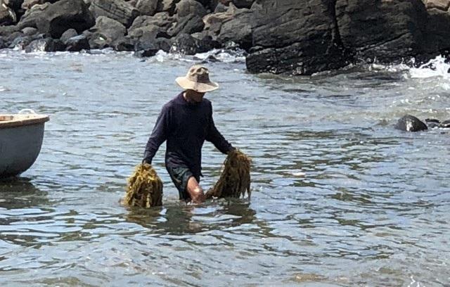 Kiếm tiền triệu mỗi ngày nhờ cắt hái rong mơ biển ở Quảng Ngãi - 4