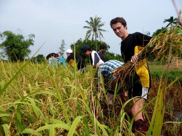 Tour dành cho khách nước ngoài đi gặt lúa ở Hội An