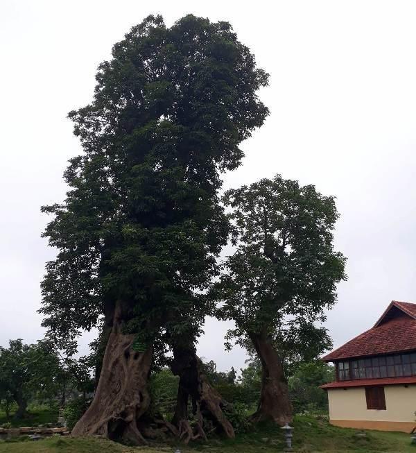 Hệ thống cây xanh và những cây cổ thụ không được nhắc đến trong báo cáo