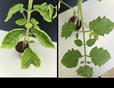 Kết quả sau hai tuần cứu chữa những cây kém dinh dưỡng: Cây sử dụng thuốc phun thông thường có chất dinh dưỡng trôi tự do (ảnh trái); và cây được sử dụng chất dinh dưỡng chứa trong các hạt nano (ảnh phải) - Ảnh từ A. Karny et al/Scientific Reports2018