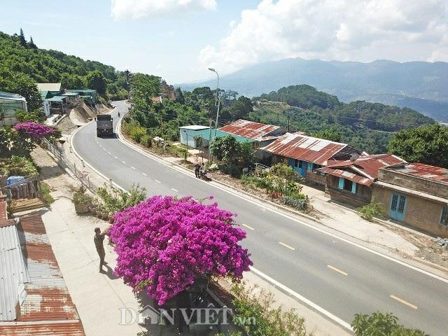 Cây hoa giấy khổng lồ nằm ngay sát quốc lộ 27, bao trùm vởi hàng vạn chùm hoa tím lịm, nên khách du lịch rất dễ tìm. Ảnh: Văn Long.