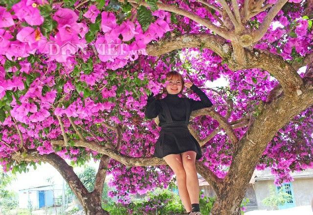 Bạn Thùy Linh - sinh viên Đại học Đà Lạt cho biết, do xuất hiện trên mạng xã hội nên đã cùng bạn đến để chiêm ngưỡng cây hoa giấy khổng lồ và cảm thấy rất thích thú, những cành của cây rất to nên có thể ngồi lên trên mà không lo gãy. Ảnh: Văn Long.
