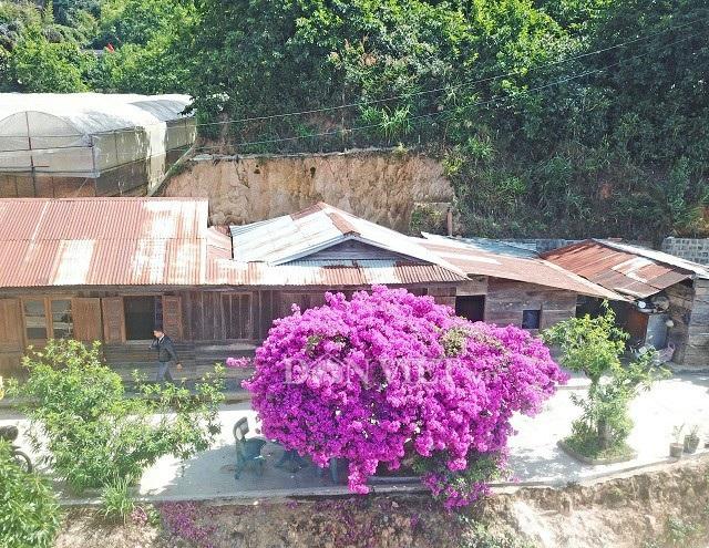 Cây hoa giấy khổng lồ nhìn từ trên cao giống như một chiếc ô màu tím lớn, nằm bên cạnh căn nhà gỗ tạo cảm giác rất xưa, đơn sơ và giản dị của vùng ngoại ô thành phố mờ sương Đà Lạt mộng mơ. Ảnh: Văn Long.