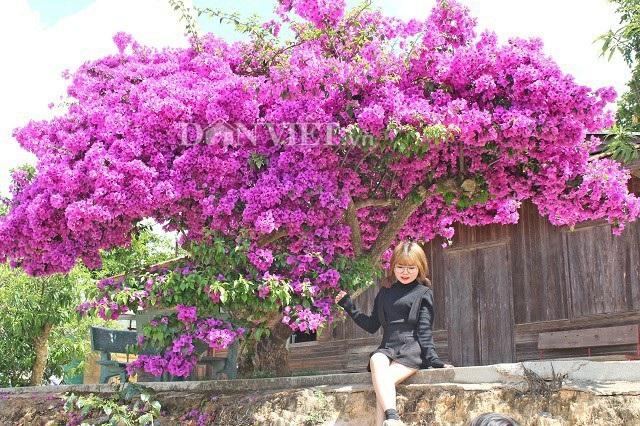 Du khách lưu lại những bức ảnh đẹp cho riêng mình bên cạnh cây hoa giấy  khổng lồ có một không hai ở thành phố Đà Lạt. Việc phát hiện ra cây hoa giấy khổng lồ giúp cho nhiều người dân Đà Lạt và du khách có thêm một điểm tham quan, chụp ảnh cực kỳ thú vị Ảnh: Văn Long.