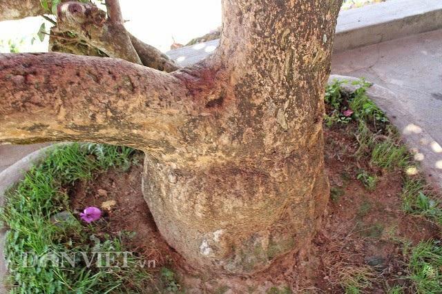 Sau 28 năm, hoành (chu vi gốc) của cây hoa giấy đã lên đến 1,2m. Ảnh: Văn Long.