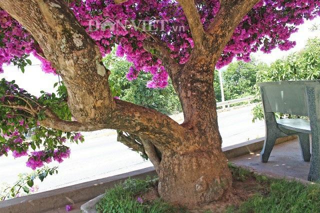 Bộ tán của cây hoa giấy cổ tích được tạo nên từ 2 cành chính, có chu vi từ 50 - 70cm/cành. Ảnh: Văn Long.