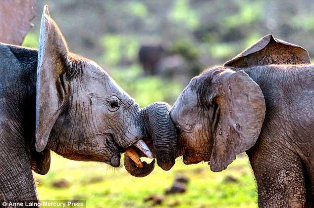 Những bức ảnh ngộ nghĩnh về hai chú voi con - 1