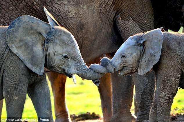 Những bức ảnh ngộ nghĩnh về hai chú voi con - 2