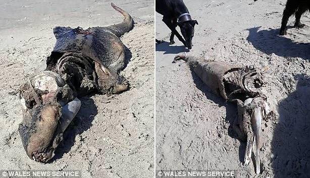 Xác sinh vật bí ẩn trôi dạt vào bãi biển Rhossili tại bán đảo Gower, Xứ Wales.