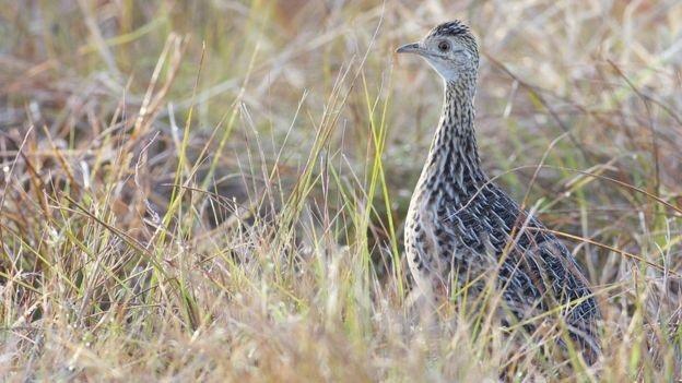 Gà gô rừng giống với gà gô và chim cút nhưng có khả năng bay hạn chế - Ảnh từ Daniel J Field.
