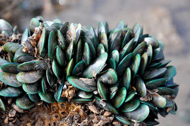 Vẹm xanh có đặc tính sống bám vào một vật cố định như: gạch, đá ở mực nước sâu 6m - 10m.  Màu sắc nổi bật nên vẹm xanh rất dễ quan sát và đánh bắt.