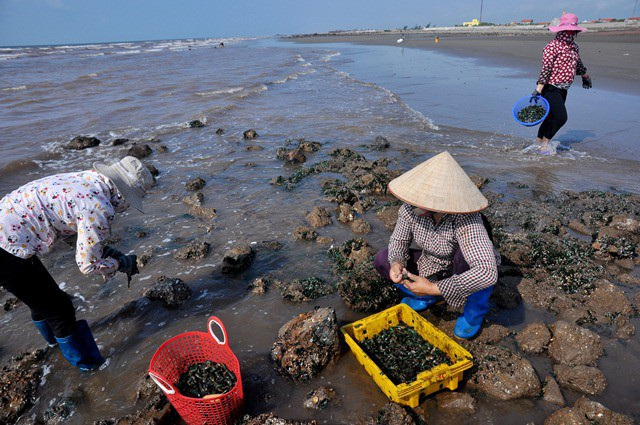 Khi thủy chiều xuống, nhiều khu vực bãi biển xã Hải Lý, Hải Đông... (huyện Hải Hậu) lại trở nên nhộn nhịp với cảnh đánh bắt vẹm xanh.