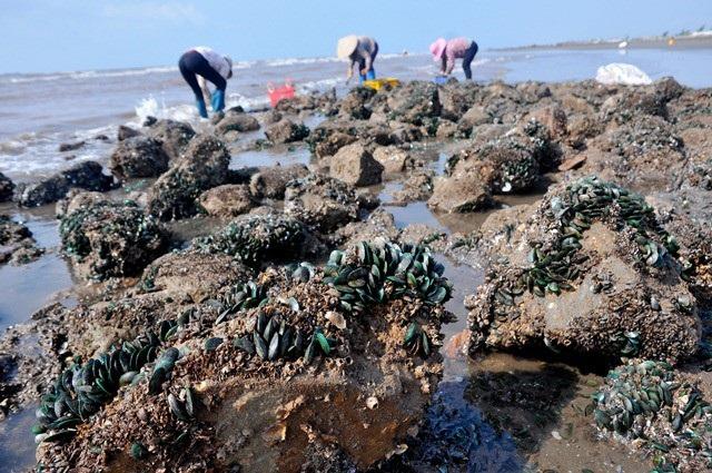 Nhặt đặc sản vẹm xanh trên biển, ngư dân thu tiền triệu mỗi giờ - 7