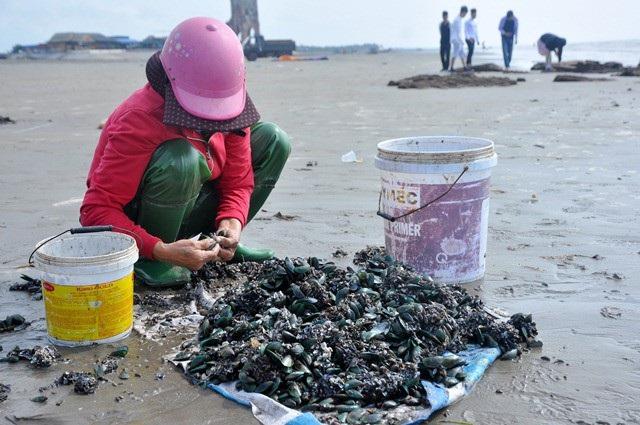 Nhặt đặc sản vẹm xanh trên biển, ngư dân thu tiền triệu mỗi giờ - 10