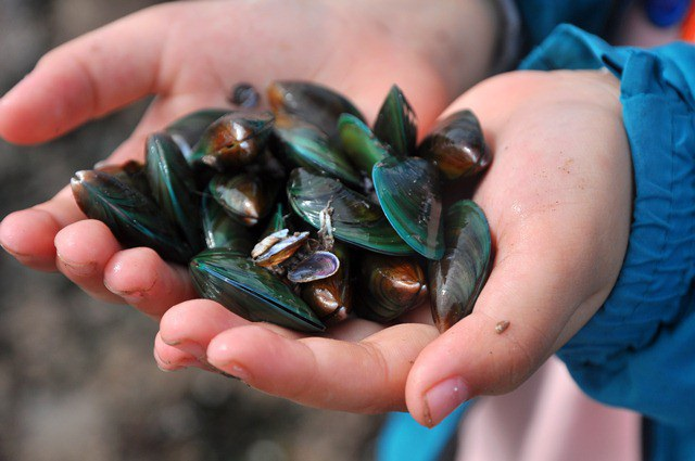 Nhặt đặc sản vẹm xanh trên biển, ngư dân thu tiền triệu mỗi giờ - 15