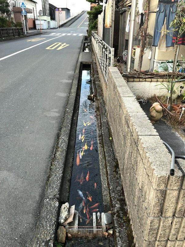 Nước trong cống thoát nước tại Nhật sạch đến nỗi những con cá chép cũng có thể sinh sống