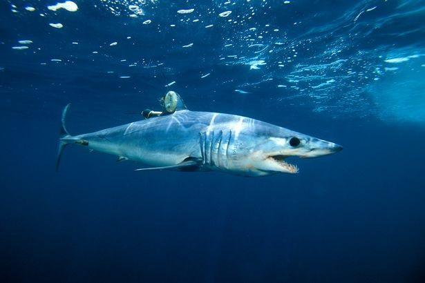 Cá mập mako nổi tiếng là loài cá mập bơi nhanh nhất thế giới.