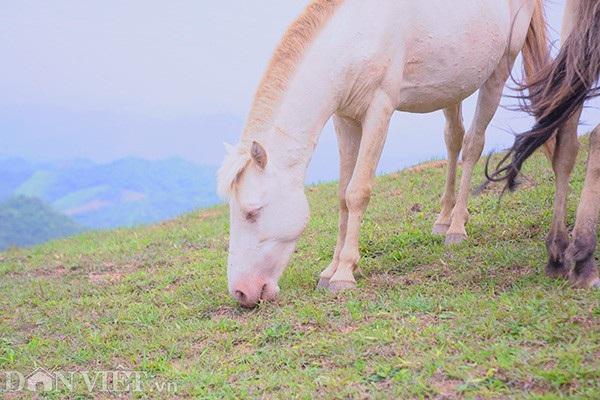 """""""Vương quốc"""" bạch mã lớn nhất đất Việt: Nuôi ngựa trắng lên đời đại gia - 4"""