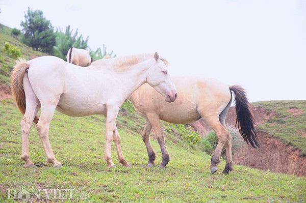 """""""Vương quốc"""" bạch mã lớn nhất đất Việt: Nuôi ngựa trắng lên đời đại gia - 5"""