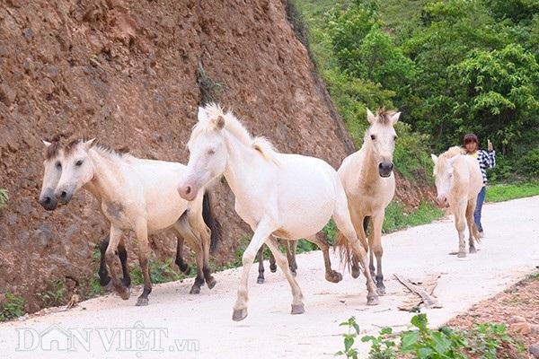 """""""Vương quốc"""" bạch mã lớn nhất đất Việt: Nuôi ngựa trắng lên đời đại gia - 1"""