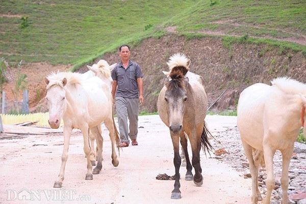 """""""Vương quốc"""" bạch mã lớn nhất đất Việt: Nuôi ngựa trắng lên đời đại gia - 7"""