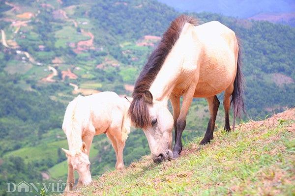 """""""Vương quốc"""" bạch mã lớn nhất đất Việt: Nuôi ngựa trắng lên đời đại gia - 8"""