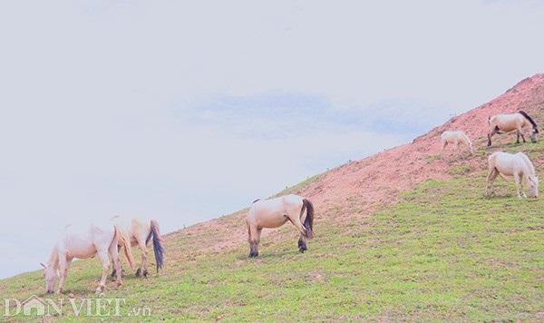 """""""Vương quốc"""" bạch mã lớn nhất đất Việt: Nuôi ngựa trắng lên đời đại gia - 9"""