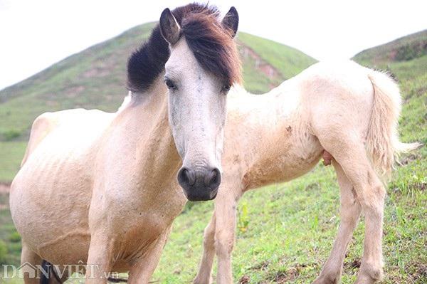 """""""Vương quốc"""" bạch mã lớn nhất đất Việt: Nuôi ngựa trắng lên đời đại gia - 10"""
