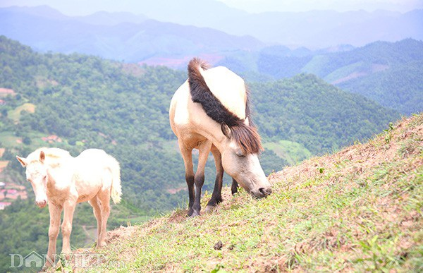 """""""Vương quốc"""" bạch mã lớn nhất đất Việt: Nuôi ngựa trắng lên đời đại gia - 2"""