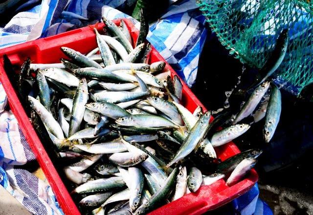 1 đêm đi biển bắt mỏi tay được 3-6 tấn cá nục, lãi từ 40-60 triệu - 3