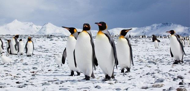 Chim cánh cụt vua cũng nhận diện nhau bằng tiếng kêu hai giọng.