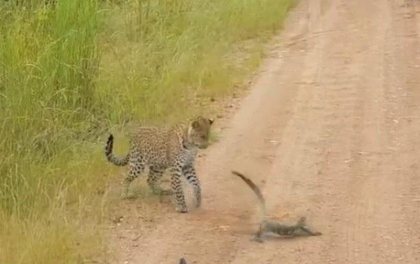 Kỳ đà dùng đuôi tấn công để ngăn chặn con báo tiếp cận