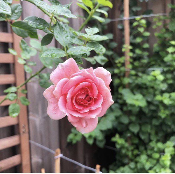 """Đáp lại những lời ngợi khen của mọi người, Hà Tăng đã nhiệt tình chia sẻ trên trang cá nhân kinh nghiệm trồng hoa hồng mà cô đã được """"sư phụ chỉ dạy"""". Theo đó, ngoài việc chọn đất tốt, thì lựa chọn giống cây chuẩn, khỏe, chậu có thoát nước tốt, hay vị trí, điều kiện trồng hoa đủ nắng,… cũng vô cùng quan trọng."""