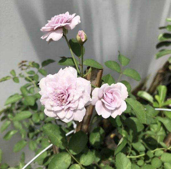 Ngẩn ngơ vườn đẹp như mơ trong biệt thự triệu đô nhà Hà Tăng, Thuỷ Tiên - 9