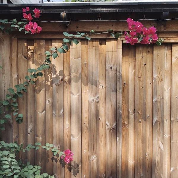 Hà Tăng thường xuyên khoe khu vườn hoa hồng do chính cô chăm sóc. Những bông hồng vươn mình đón nắng bên hàng rào gỗ đơn giản, đẹp nên thơ là hình ảnh gợi nhiều cảm xúc trong khu vườn của Hà Tăng.