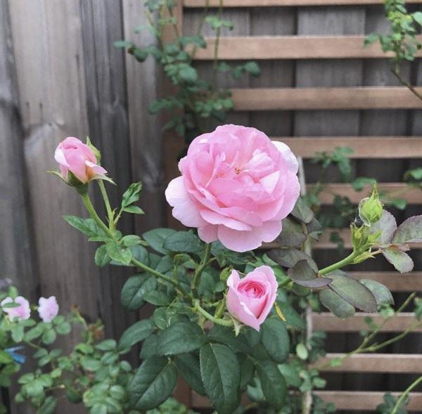 Khu vườn của Hà Tăng hiện có 80 hoa hồng và nụ, nhiều loại hoa hồng nhập ngoại.