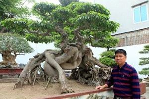 Cây sanh có tên Ngọa hổ tàng long của anh Toàn từng được khách trả giá 1,4 triệu USD.