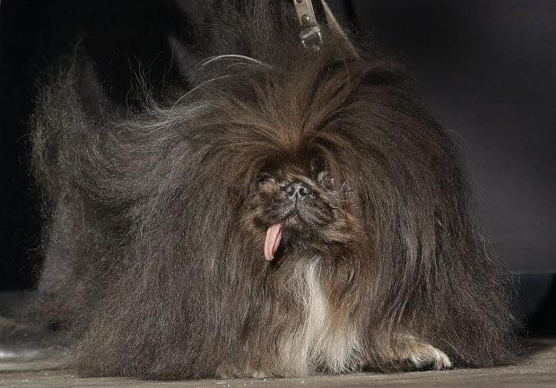 """Ngắm các thí sinh """"nặng ký"""" của cuộc thi độc đáo """"Chó xấu nhất thế giới"""" - 3"""