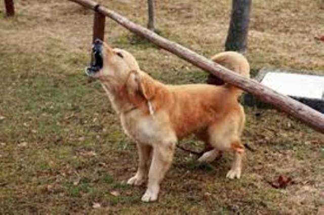 Cà Mau xuất hiện bệnh dại trên chó. (Ảnh minh họa)
