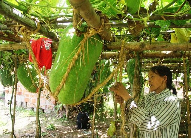 Bí đao bình thường thì khắp cả nước nơi nào cũng trồng được, thế nhưng trồng bí đao cho quả nặng 50 - 60 kg thì có lẽ chỉ duy nhất một vùng quê ở tỉnh Bình Định mới có. (Ảnh: Doãn Công)