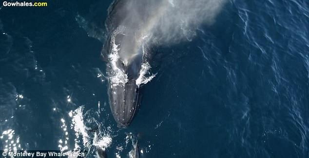 Các nhà hải dương học tin rằng những con cá heo rất thích bơi bên cạnh cá voi, và cá voi cũng không cảm thấy có gì phiền toái.