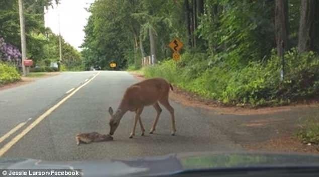 Có thể nai con hiếm khi bước ra khỏi rừng và nó cảm thấy sợ cảnh quan đường cái.