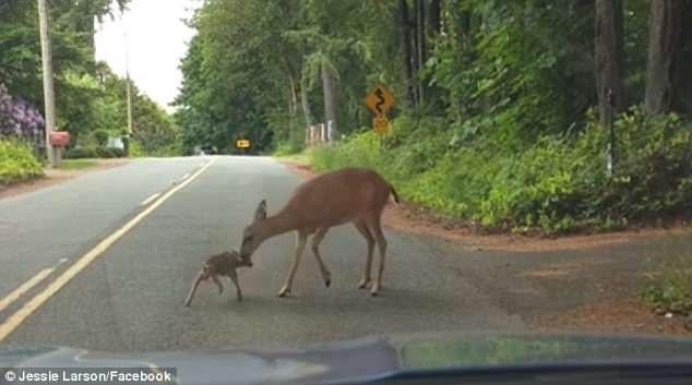 Được mẹ động viên, nai con đứng lên và bước đi theo mẹ.