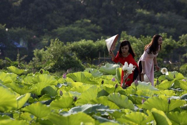 Đầm sen Hồ Tây nổi tiếng bởi sen đẹp, nhiều cánh, lâu tàn. Ảnh: Hữu Nghị