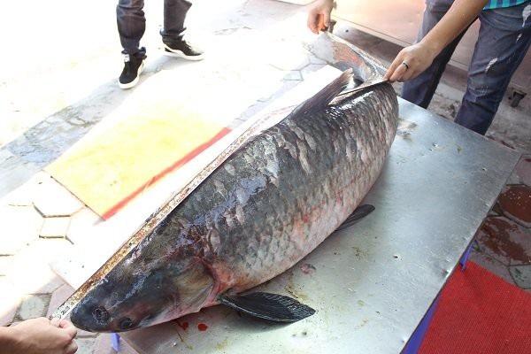 Được biết, con cá này sau đó đã được bán cho một nhà hàng tại Hà Nội.