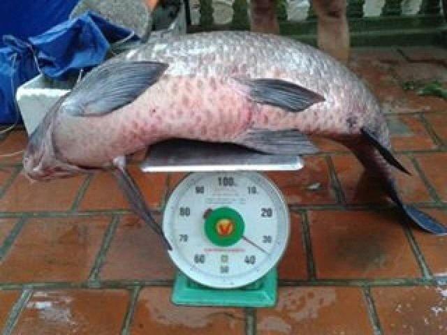 Vào tháng 5/ 2016, một người đánh cá trên hồ Thác Bà (Yên Bái) bắt được một con cá trăm đen nặng 34kg.