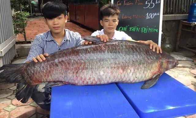 Vào cuối tháng 7/2017, một nhóm ngư dân đã đánh lưới được con cá trắm đen khổng lồ, nặng 55kg và dài 1,5m, tại hồ Thác Bà.